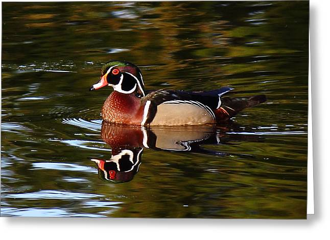 Water Fowl Greeting Cards - Looks Like A Duck Greeting Card by Randy Hall
