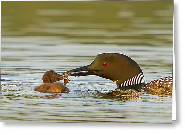 Loon Feeding Chick Greeting Card by John Vose