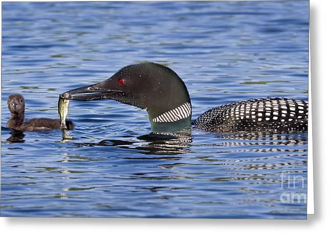 Feeding Birds Greeting Cards - Loon Offers Fish to Chick Greeting Card by Jim Block
