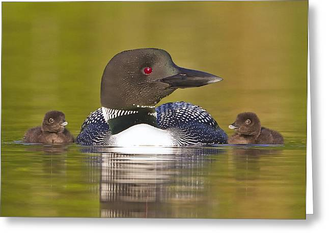 Aquatic Greeting Cards - Loon with Two Chicks Greeting Card by John Vose