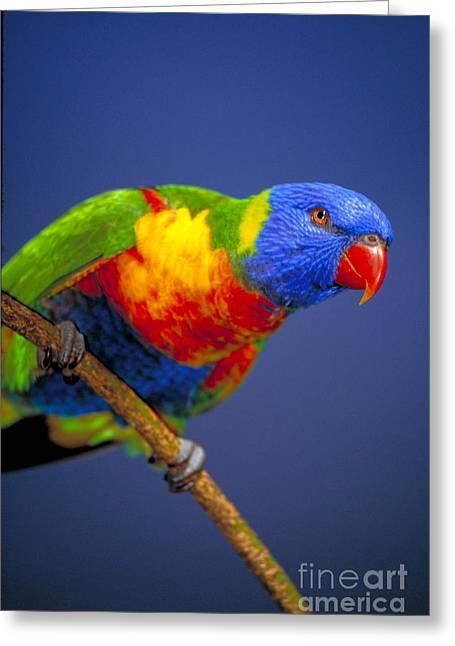 Rainbow Lorikeets Greeting Cards - Lorikeet Greeting Card by Art Wolfe