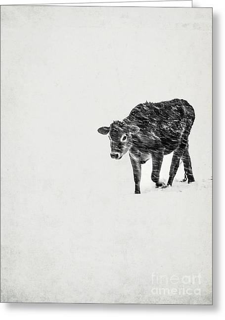 Struggles Greeting Cards - Lost calf struggling in a snow storm Greeting Card by Edward Fielding