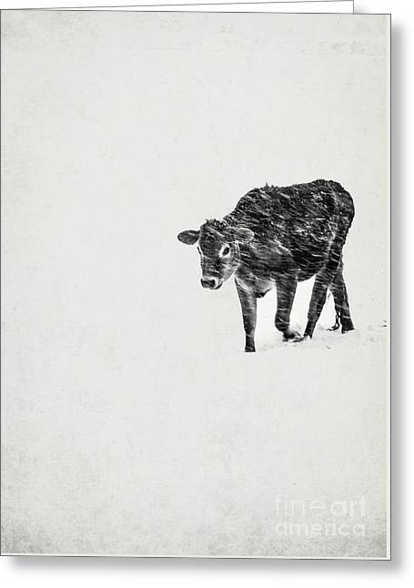 Lost Calf Struggling In A Snow Storm Greeting Card by Edward Fielding