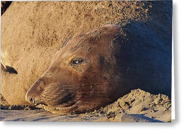 Elephant Seals Greeting Cards - Lost in Thought Greeting Card by Parrish Todd