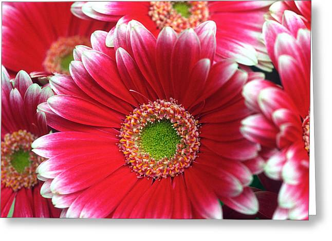 Daisy Framed Prints Greeting Cards - Lots a Daisies Greeting Card by Kathy Yates