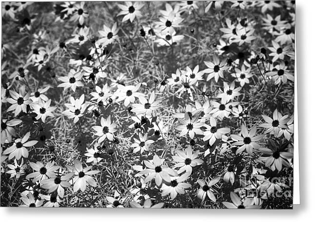 Lots Of Daisies Greeting Cards - Lots of Black-Eyed Susans infrared Greeting Card by John Rizzuto