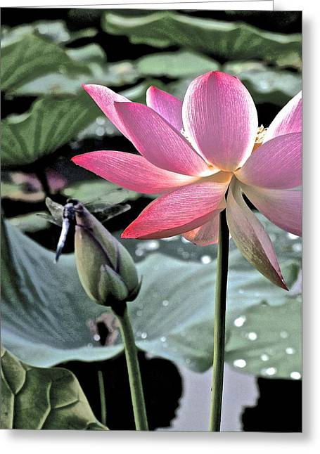 Lotus Full Bloom Greeting Cards - Lotus and Dragonfly Greeting Card by Larry Knipfing
