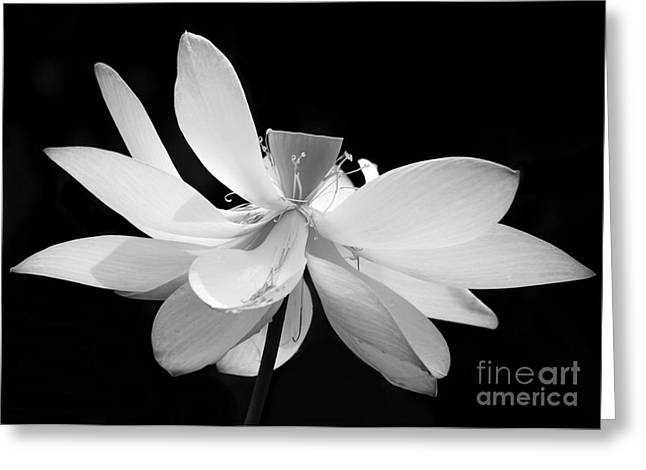 Lotus Ballerina Greeting Card by Sabrina L Ryan