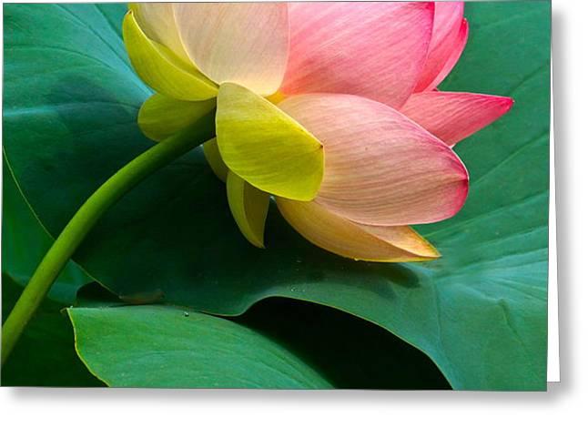 Lotus Blossom And Leaves Greeting Card by Byron Varvarigos