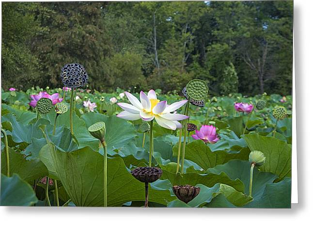 Shower Head Greeting Cards - Lotus Blossoms Greeting Card by Valerie Brown