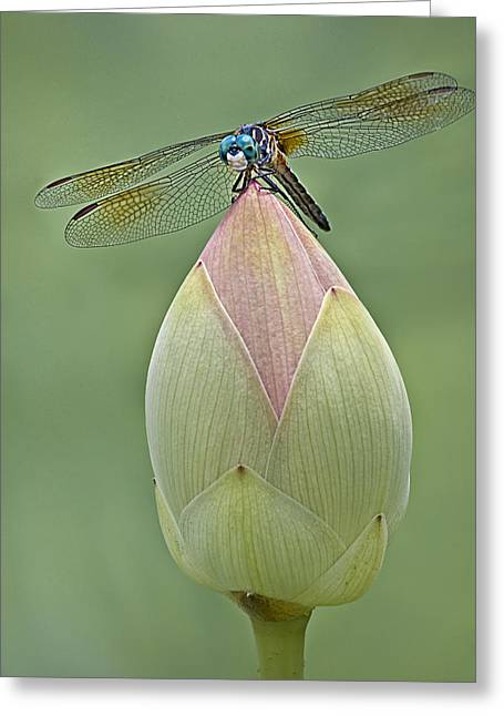 Invertebrates Greeting Cards - Lotus Bud And Dragonfly Greeting Card by Susan Candelario