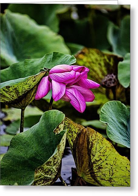 Top-end Greeting Cards - Lotus Flower- Gungarre billabong Greeting Card by Douglas Barnard