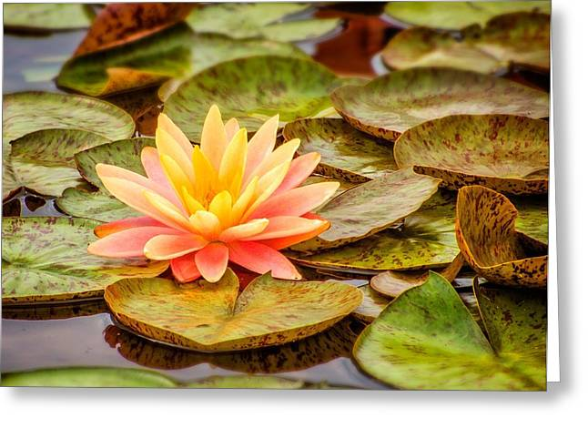 Water Lilly Greeting Cards - Lotus Flower in Bloom Greeting Card by Digital Moments