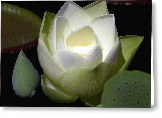 Julie Palencia Greeting Cards - Lotus Flower in White Greeting Card by Julie Palencia