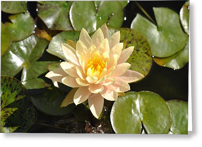 Lilly Pads Greeting Cards - Lotus Flower on Lily Pad Greeting Card by Brandon Bourdages
