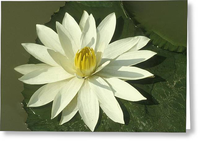 Floating Flowers Greeting Cards - Lotus Flower Photo Greeting Card by .