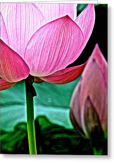 Lotus Full Bloom Greeting Cards - Lotus Heaven - 128 Greeting Card by Larry Knipfing