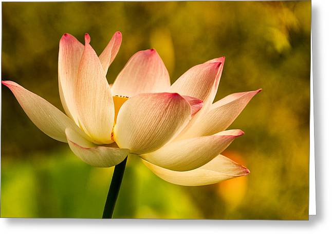 Pink Lotus Greeting Cards - Lotus in Morning Light Greeting Card by Rick Barnard