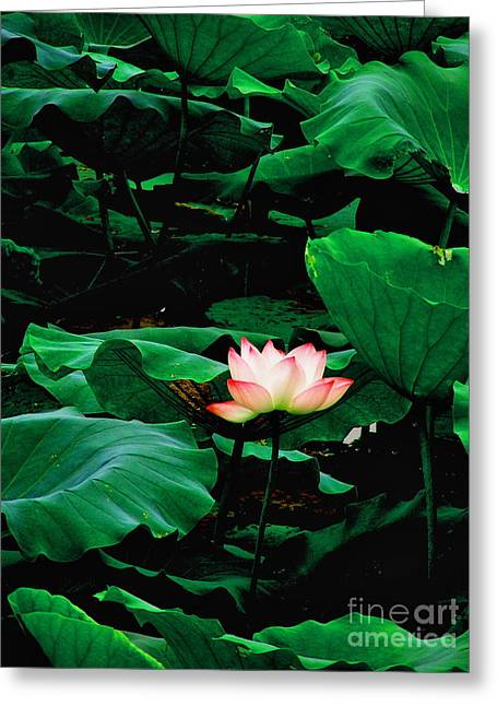 Flower Still Life Prints Greeting Cards - Lotus in Summer Greeting Card by PlusO FineArt