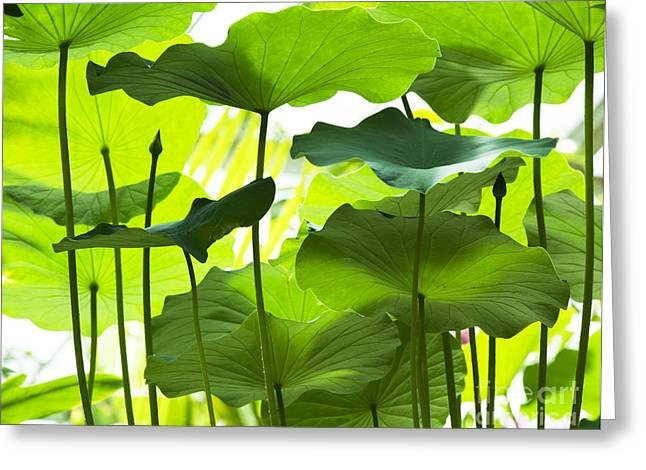 Lotus Leaves Greeting Cards - Lotus Leaves Greeting Card by Tim Gainey