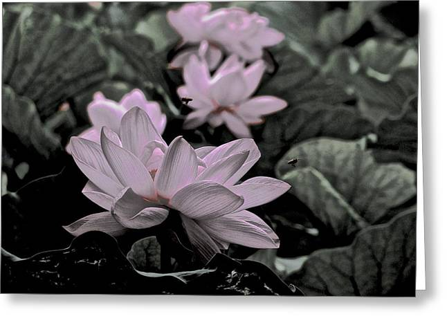 Lotus Full Bloom Greeting Cards - Lotus Life - 3 Greeting Card by Larry Knipfing
