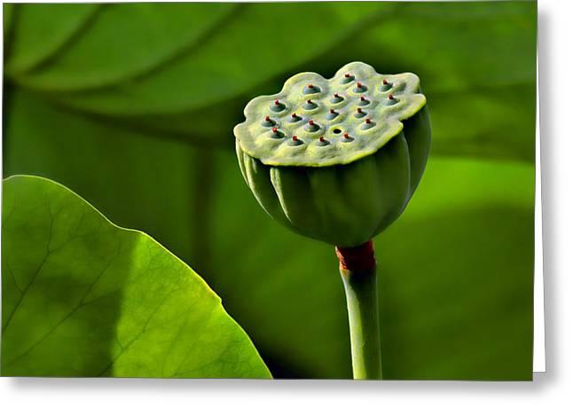 Seedpods Greeting Cards - Lotus Lines Greeting Card by Nikolyn McDonald