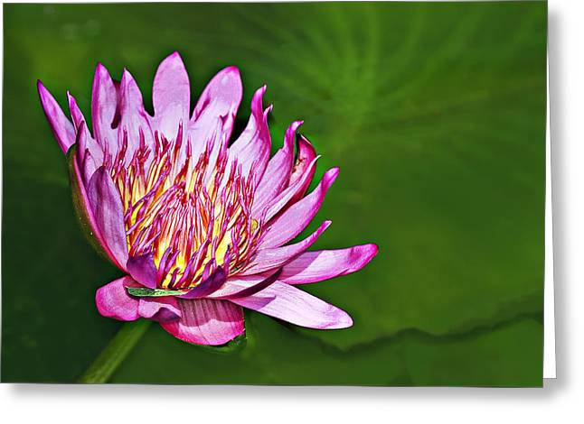 Lotus Greeting Card by Marcia Colelli
