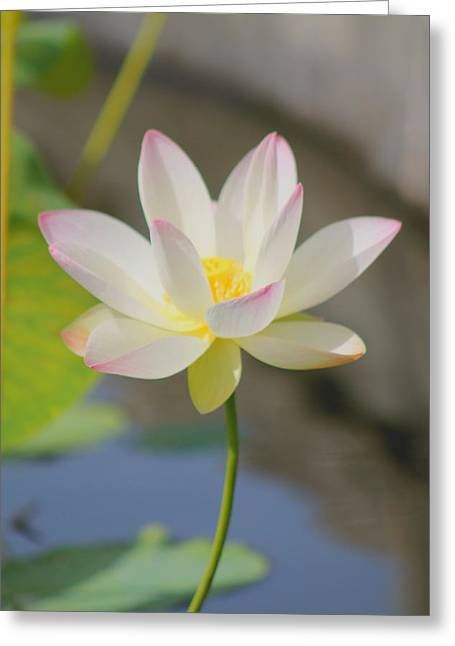 Lotus Full Bloom Greeting Cards - Lotus Greeting Card by Mary Goodreau