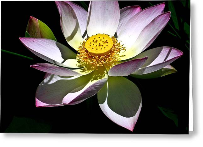 Tendrils Greeting Cards - Lotus of the Night Greeting Card by Douglas Barnett