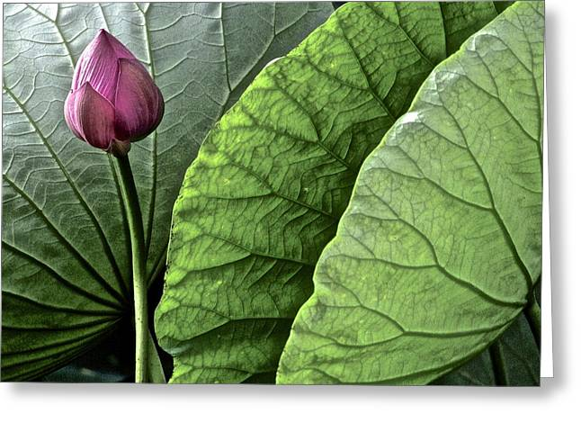 Lotus Full Bloom Greeting Cards - Portrait of a Lotus Greeting Card by Larry Knipfing