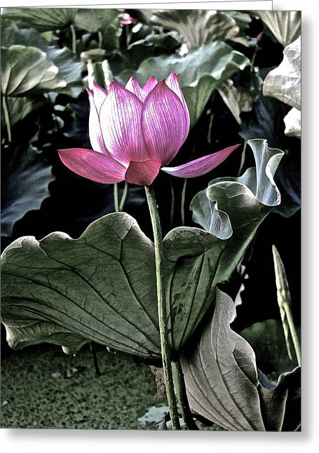 Lotus Full Bloom Greeting Cards - Lotus Royalty Greeting Card by Larry Knipfing