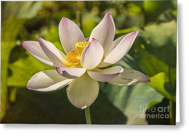 Lotus Full Bloom Greeting Cards - Lotus Shining Greeting Card by Terry Rowe