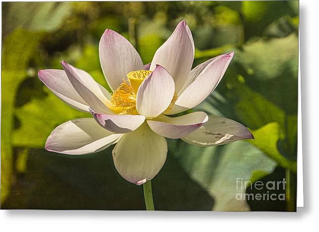 Faithfulness Greeting Cards - Lotus Shining Greeting Card by Terry Rowe