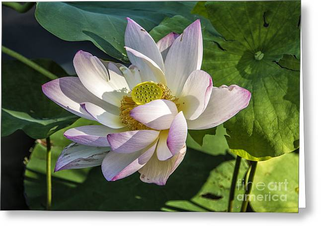 Lotus Full Bloom Greeting Cards - Lotus the Sacred Lily Greeting Card by Terry Rowe
