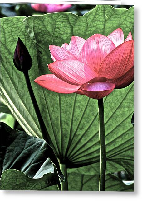 Lotus Full Bloom Greeting Cards - Lotus World Greeting Card by Larry Knipfing