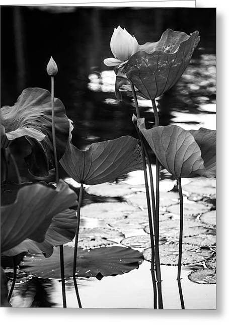 Graceful Lotus Greeting Cards - Lotuses in the Pond I. Black and White Greeting Card by Jenny Rainbow