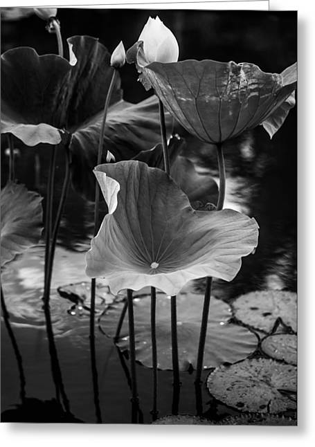 Graceful Lotus Greeting Cards - Lotuses in the Pond II. Black and White Greeting Card by Jenny Rainbow