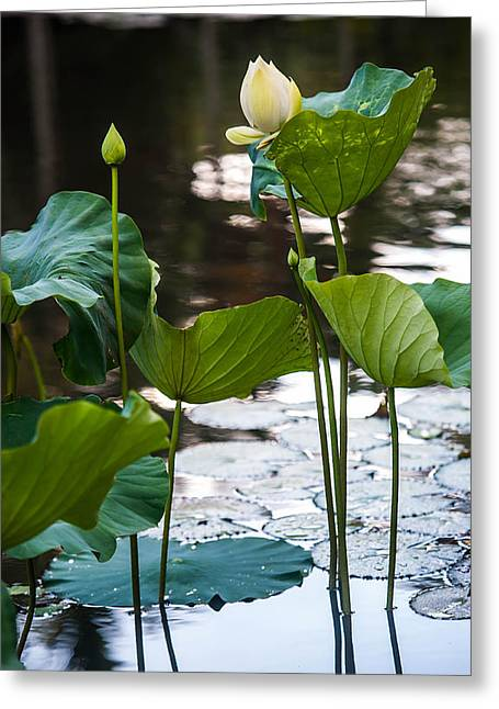 Graceful Lotus Greeting Cards - Lotuses in the Pond Greeting Card by Jenny Rainbow
