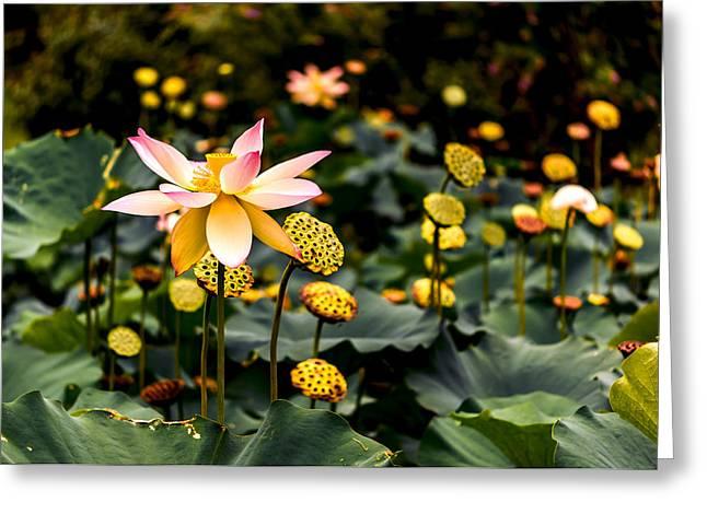 Magenta Fuchsia Greeting Cards - Lotuses Greeting Card by Jon Woodhams