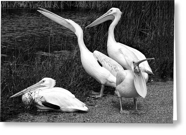 Caption Greeting Cards - Loud Mouth - Pelicans - Black and White Greeting Card by Nikolyn McDonald
