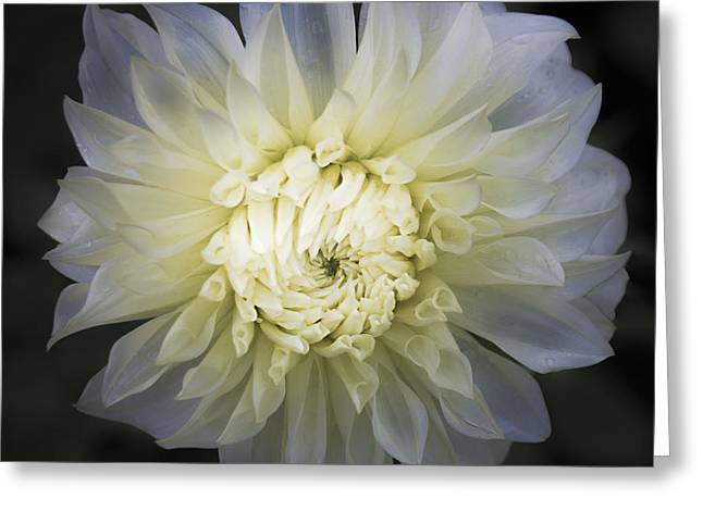 Asters Greeting Cards - Louie Meggos Dahlia Greeting Card by Julie Palencia