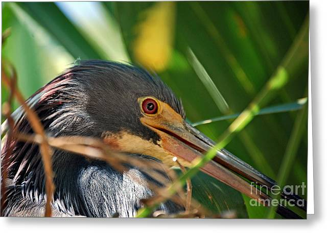 Louisiana Heron Greeting Cards - Louisiana Eye Greeting Card by Skip Willits