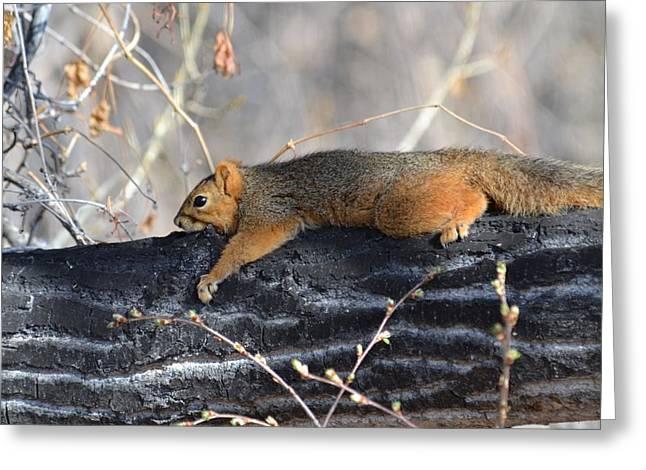 Fox Squirrel Greeting Cards - Lounging Fox Squirrel Greeting Card by Rae Ann  M Garrett