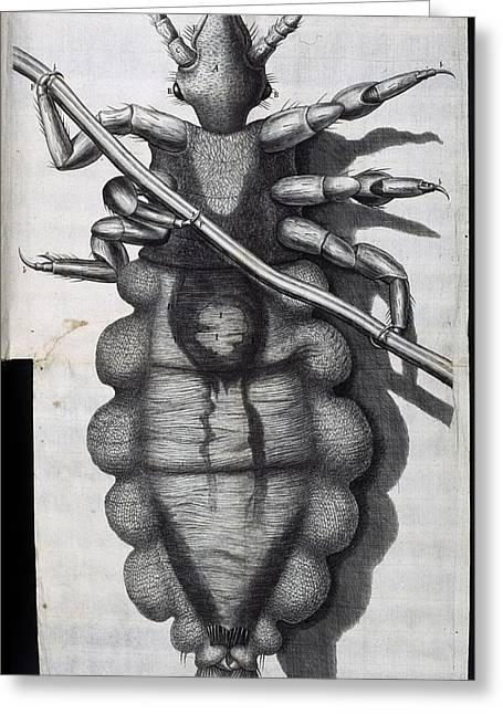 Physical Body Greeting Cards - Louse, 17th-century microscopy Greeting Card by Science Photo Library