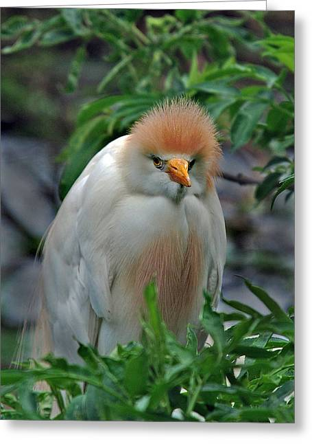 Cattle Egret Greeting Cards - Lovable Little Fuzzball Greeting Card by Skip Willits