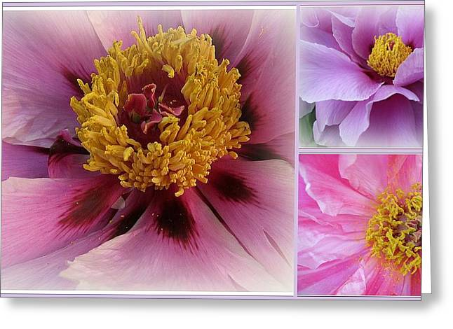 Indiana Flowers Greeting Cards - Love and Romance - Peonies Greeting Card by  Photographic Art and Design by Dora Sofia Caputo