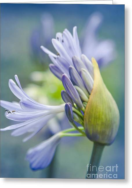 Agapanthus Greeting Cards - Love Flower Greeting Card by Sharon Mau