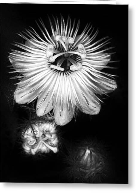 Passionflower Photographs Greeting Cards - Love-in-a-Mist 3 Greeting Card by Patrick M Lynch