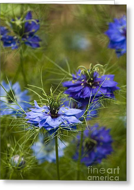 Bract Greeting Cards - Love in a Mist Greeting Card by Anne Gilbert