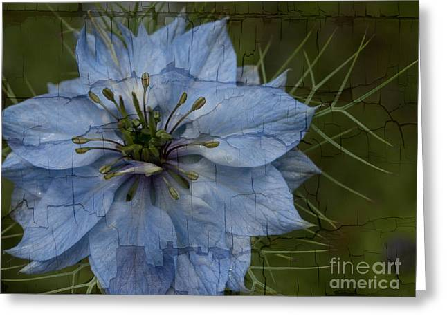 Rag Lady Greeting Cards - Love In A Mist Greeting Card by Brothers Beerens